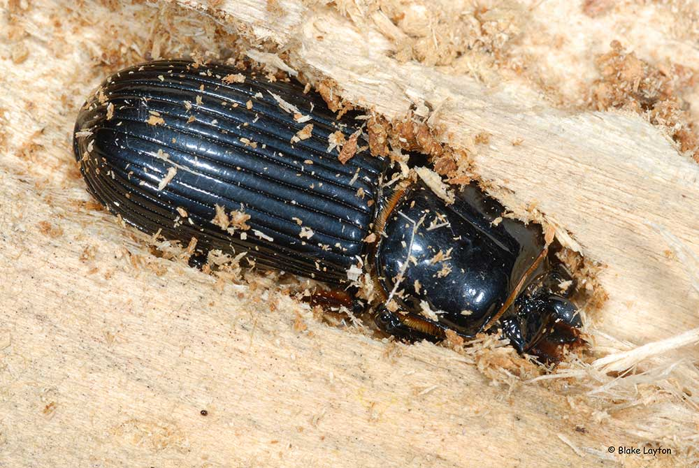 An image of a Bess Beetle boring into wood.