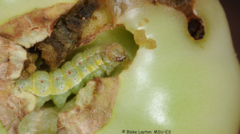An image of a tomato fruitworm feeding on a tomato.