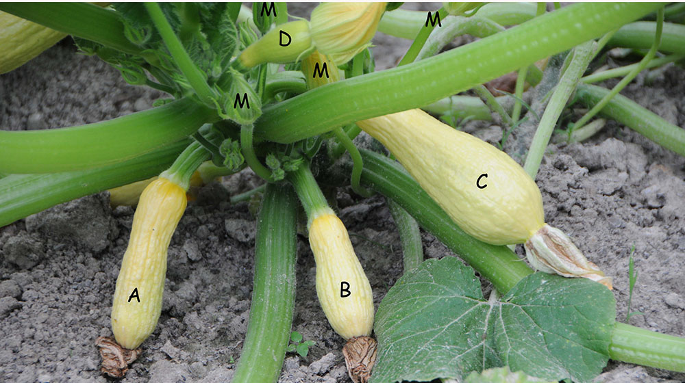 This is an image of unpollinated squash.