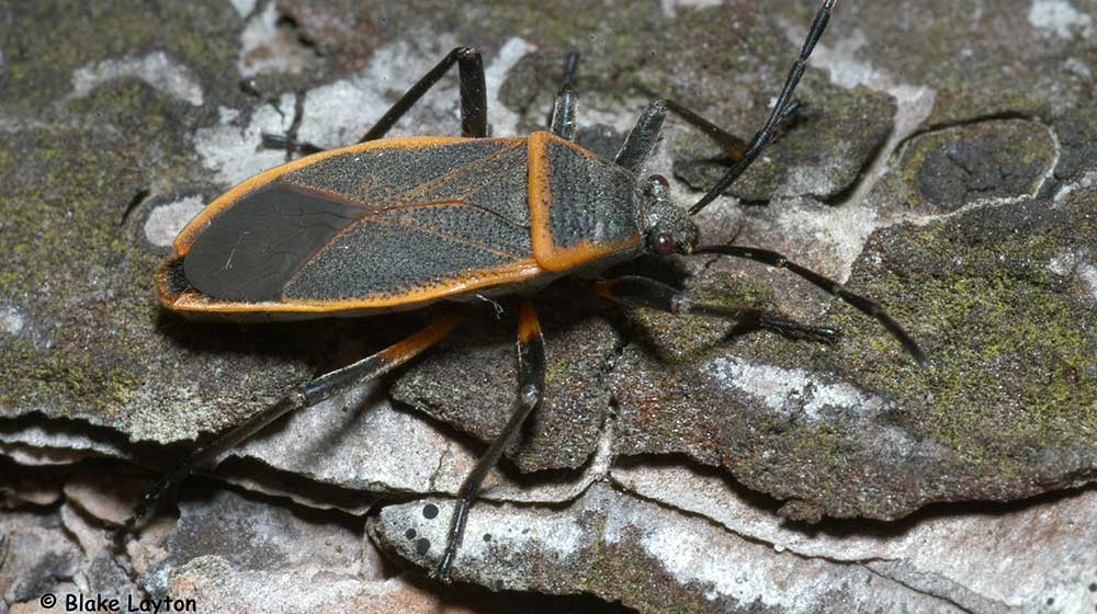 The bordered plant bug shown here is a matte gray to black with distinctive orange borders around the edges of their wings and across the front portion of the back.