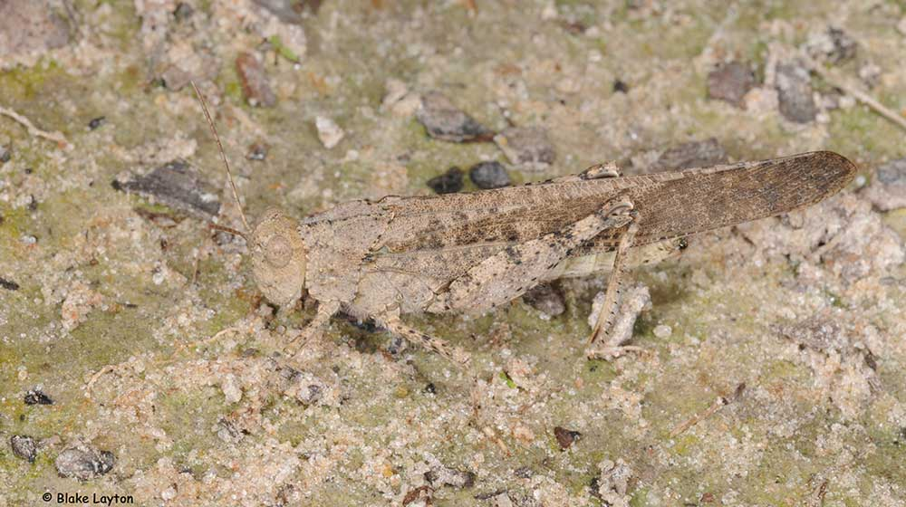 a gray-brown grasshopper, ranging from 1.5 to 2 inches long.