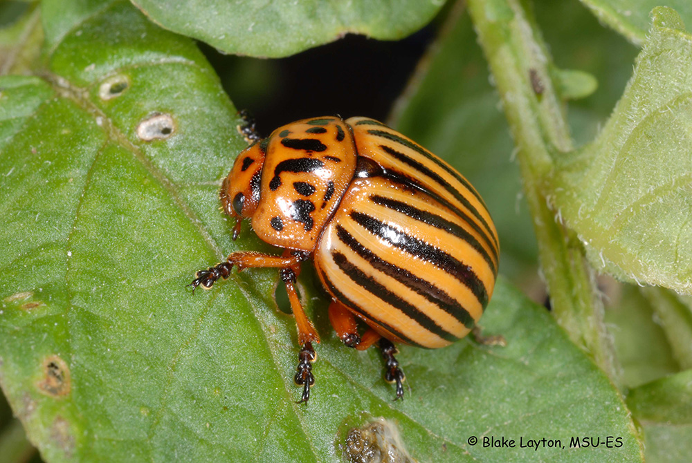 An image of a Colorado potato beetle on a green leaf.