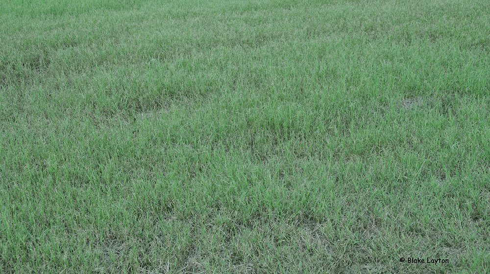 grass damaged by fall armyworms to a pasture.