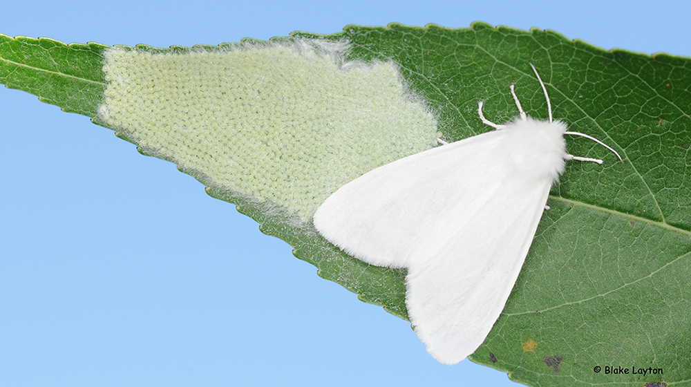 A female moth in this photo is about ¾ inches long and happens to be pure white, but many specimens are white with black spots.