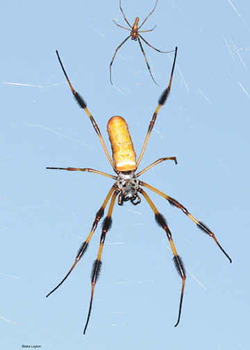 Golden Silk Spiders - a large female and smaller golden colored spider with bands of dark brown/black on legs in a golden colored web.