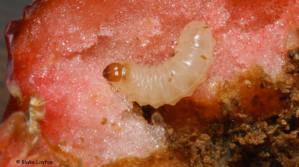 a plum curculio larva in a peach.
