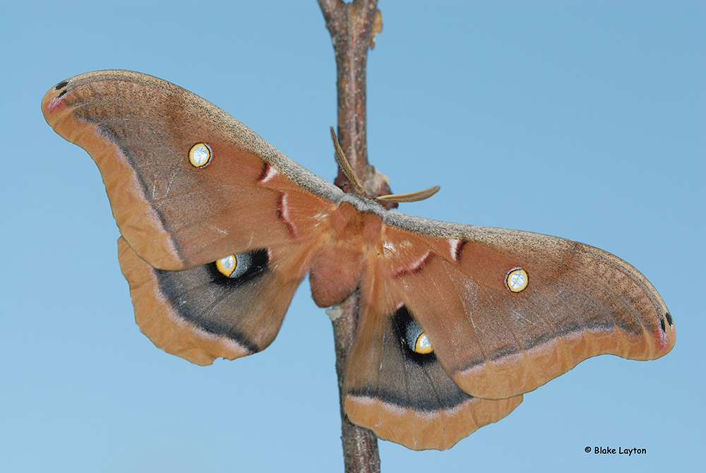 An image of a polyphemus moth. Photo taken by Blake Leighton