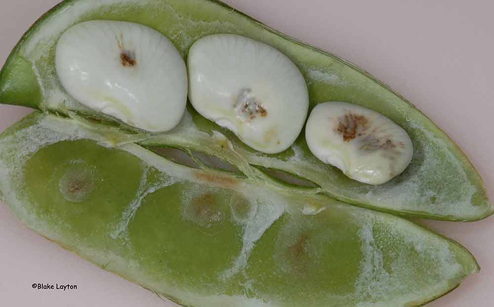 This photo shows stink bug damage, sunken lesions, and you can also see where the stylets pierced the hull of a butter bean.