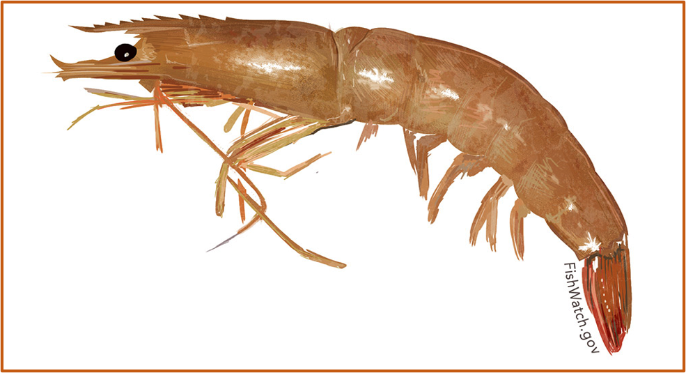 Fig. 2. Brown shrimp (Farfantepenaeus Aztecus). U.S. wild-caught brown shrimp is a smart seafood choice because it is sustainably managed and responsibly harvested under U.S. regulations. Source: Gulf FINFO (http://gulffishinfo.org/).