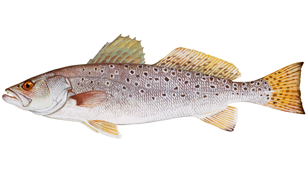 a drawing of a spotted seatrout