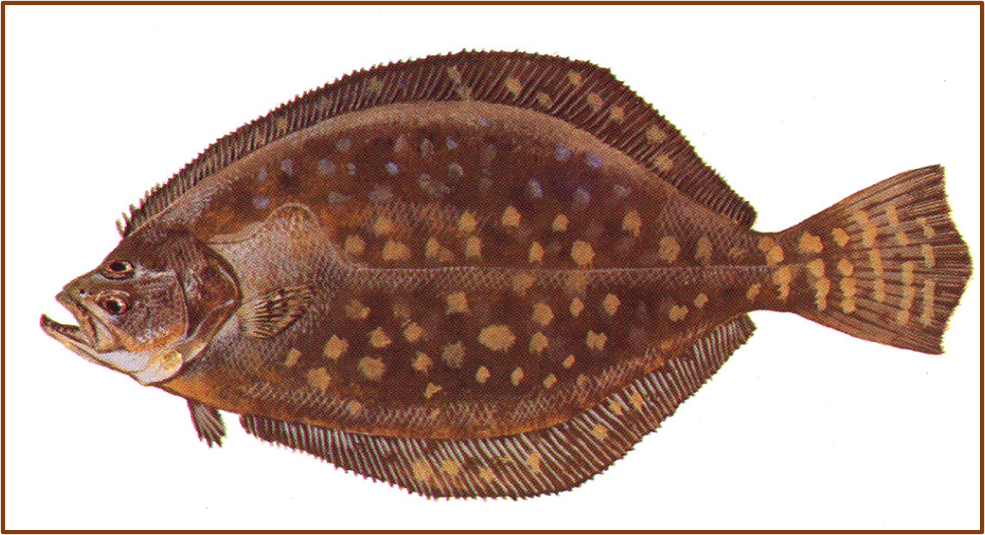 A drawing of a Southern flounder