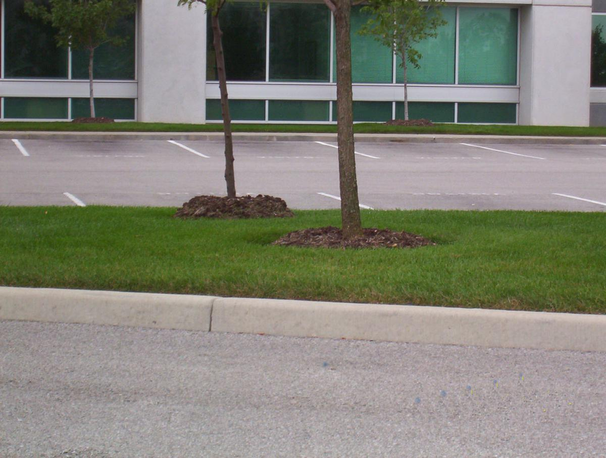 The tree is the background is surrounded by a mulch volcano while the tree in the foreground in mulched correctly.