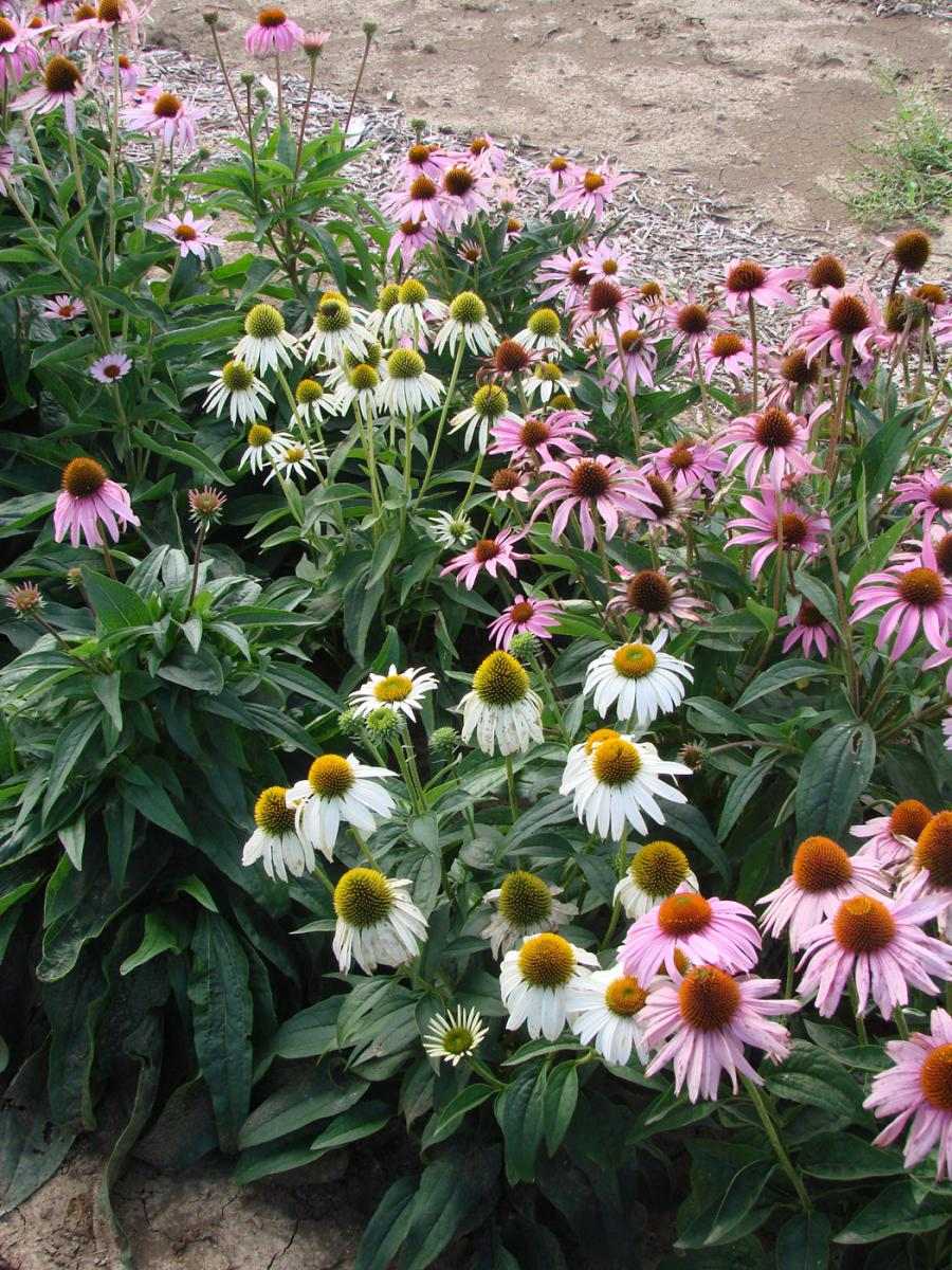 Coneflower hybrids from Dr. Bachman's hybrid trials.