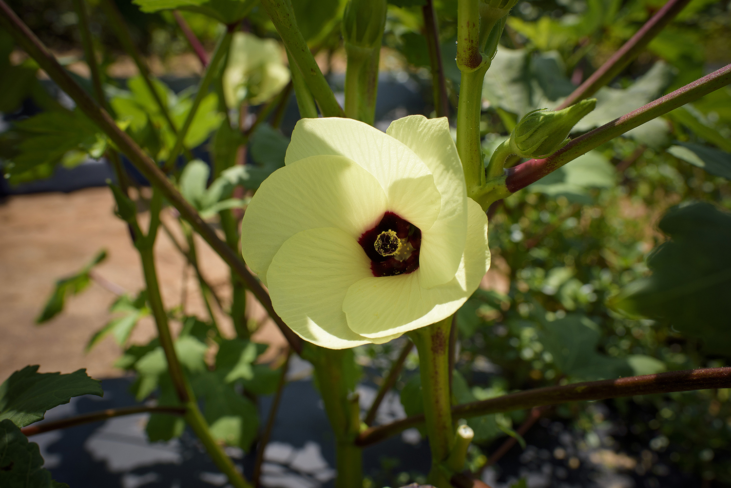 A close up of an okra plant blooming.