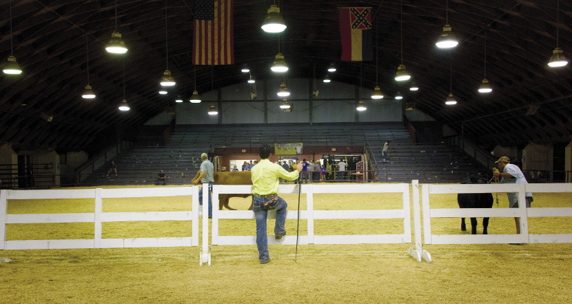 Young man observing a brown and a black cow at a livestock show
