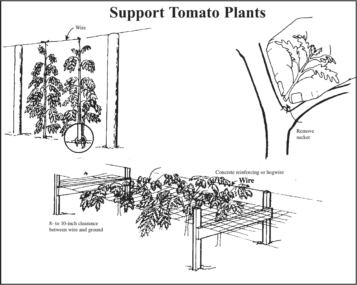 drawing showing three ways to stake and train tomatoes