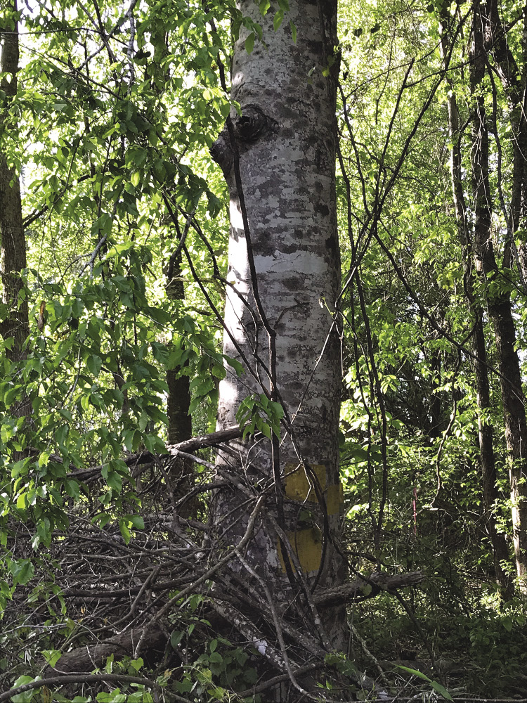 This American beech tree is large and healthy, but it has little value in timber management.