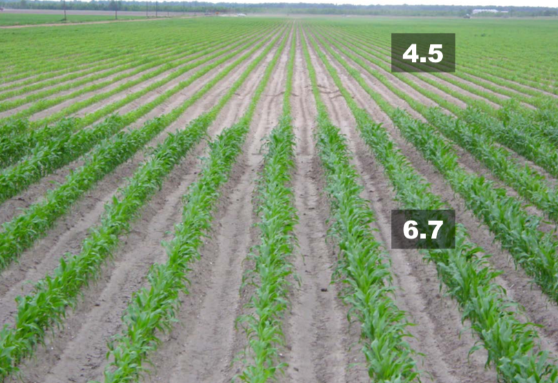 Rows of small corn plants. The plants in the foreground are labeled as having pH of 6.7 and are larger and greener than the plants in the background, which are labeled as having pH of 4.5.