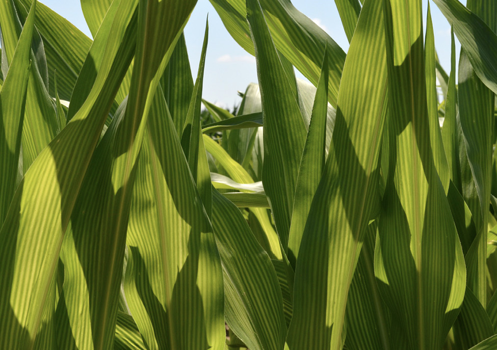 Close-up of corn plant leaves that have an alternating yellow and green striped pattern.