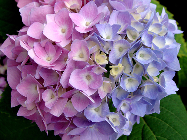 A single hydrangea flower with pink flowers on the left side and blue flowers on the right.