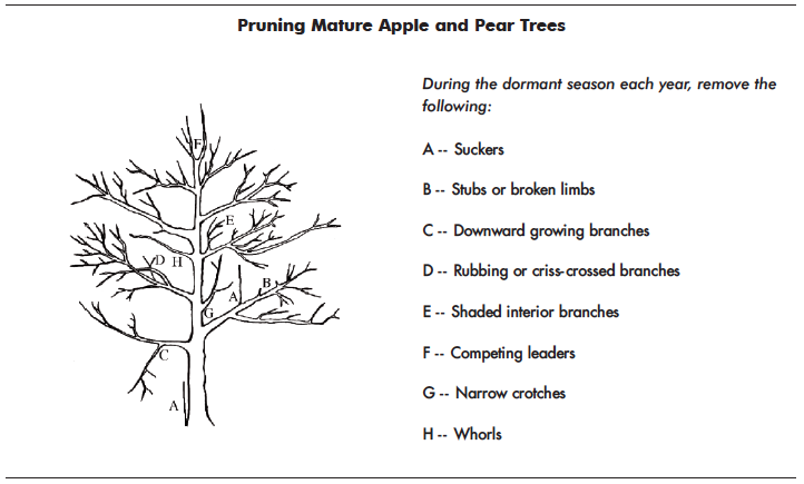 This figure shows the correct way to prune apple and pear trees in the dormant season.