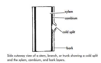 cutaway view of a stem, branch, or trunk showing a col split and the xylem, cambium, and bark layers.