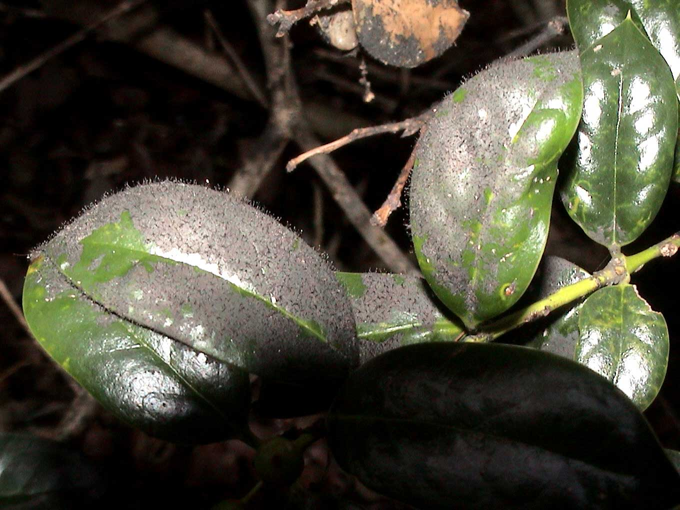 Figure 2. Vigorously growing sooty mold on holly. Note the sooty mold fungi are producing stalks (conidiophores) to launch their spores into the air.