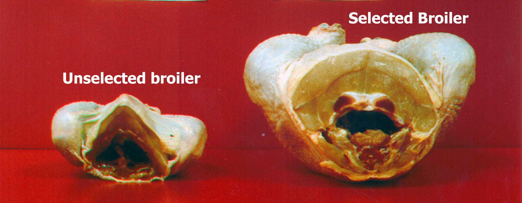 Figure 1. Genetic selection and improved nutrition are the main reasons poultry producers are able to produce a much larger bird than they were 50 years ago. (Photo courtesy of G. B. Havenstein and P. R. Ferket, North Carolina State University.)