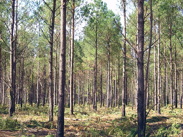 After the second thinning, trees are evenly spaced with more sunlight, water, and soil nutrients for remaining trees.
