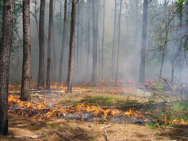Fires set under specified conditions are called prescribedburns. These fires remove understory plants and forest floor, encouraging germination of forbes for wildlife habitat.