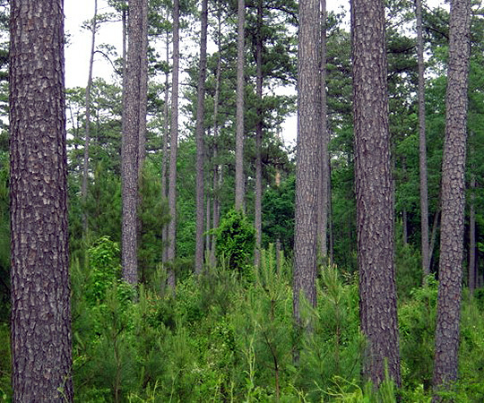 Figure 6. All-aged natural regeneration of loblolly pines. Notice the variety of size classes, from regeneration to pulpwood to mature timber.
