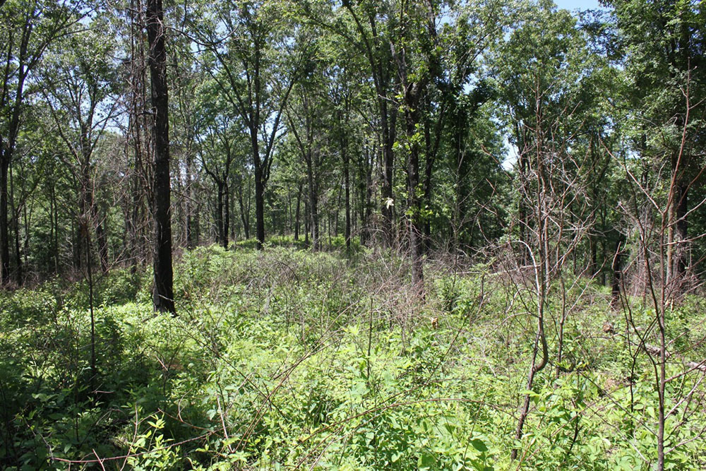 Vegetation in a low-quality, upland hardwood stand 5 months post-dormant season burn.