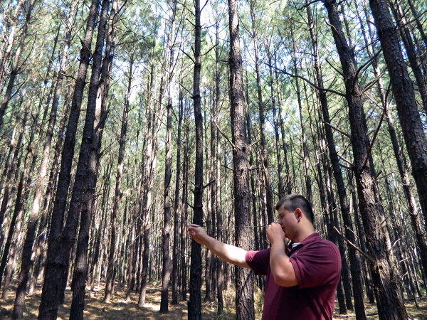 This image shows a forester estimating the value of a pine timber stand.