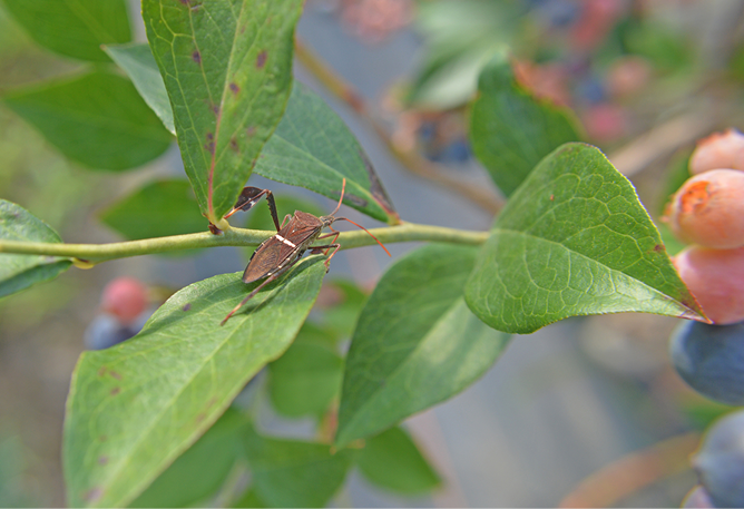 Brown bug on a green blueberry stem.