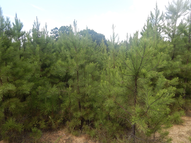 Many young, short pine trees growing closely together.