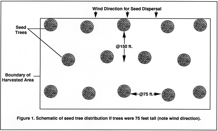 Schematic of seed tree distribution. There is a square marking the boundary of harvested area, and within this square, there are black dots labeled as seed trees. At the top of the boundary, there is the wind direction for seed dispersal with arrows pointing downward. Tree rows are spaced 150 feet apart, and individual trees are spaced 75 feet apart.