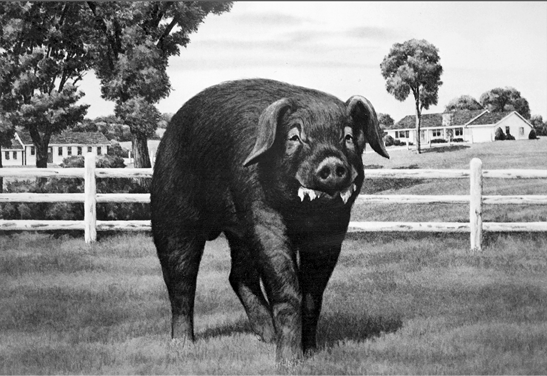 Duroc pig. Medium to large frame, dark reddish-brown.
