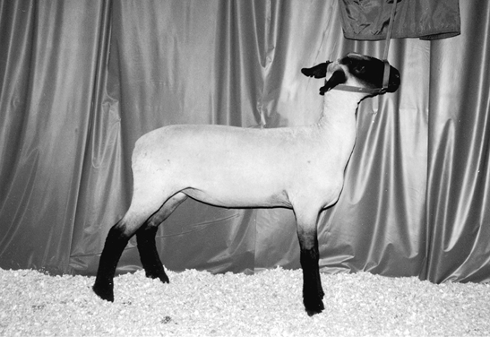 Hampshire sheep. Medium to large sized with white wool and a black face and feet.