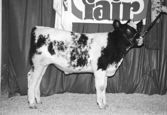 Shorthorn cow. Small, white fur with black spots.