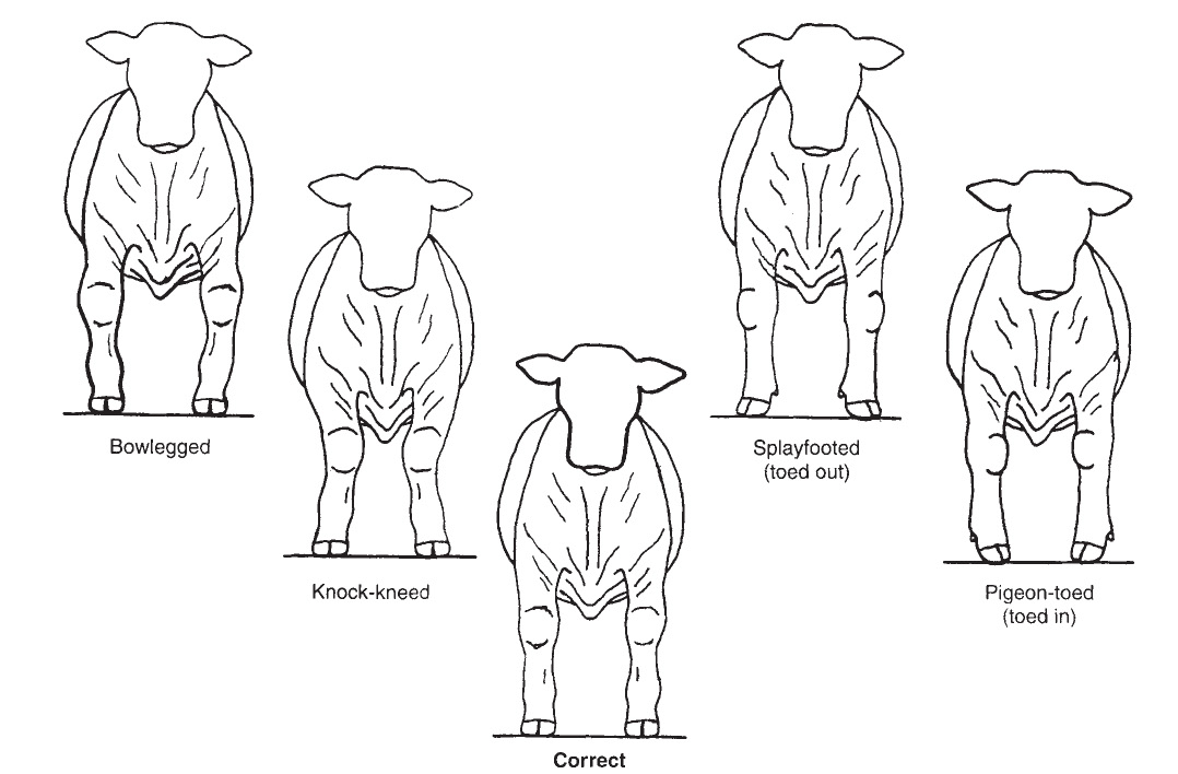 Diagram of an ideal market steer's front leg alignment.