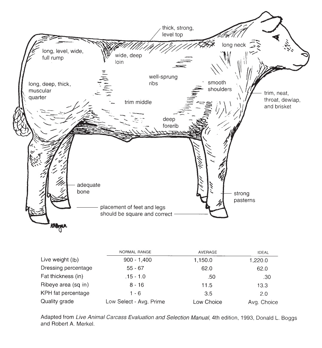 Diagram of the characteristics of an ideal market steer.