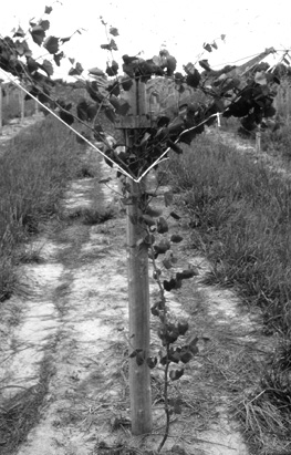 A view down a row of muscadine vines, which grow up a support post.