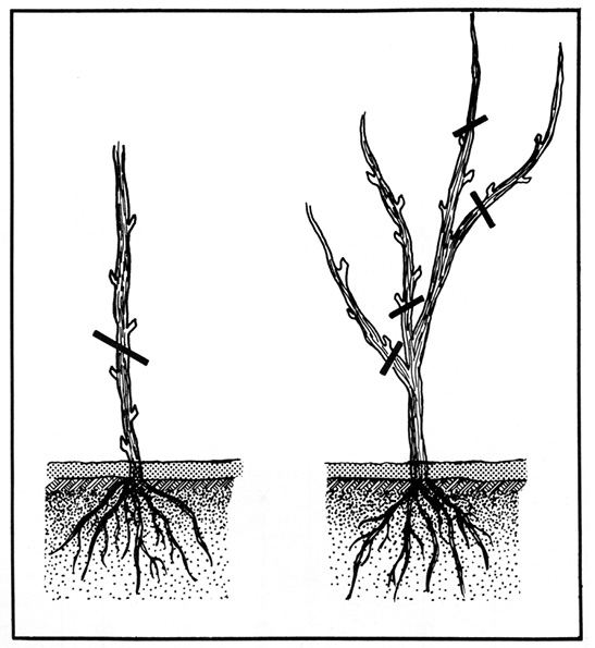 Cross-section drawing of two plants. One has a single stem and a line indicating where the stem should be cut, above the lower three buds. The other has four stems and four lines indicating where the stems should be cut; three are cut at the main stem, and one is cut above the lower three buds.