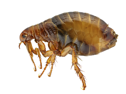 A close-up image of a flea.