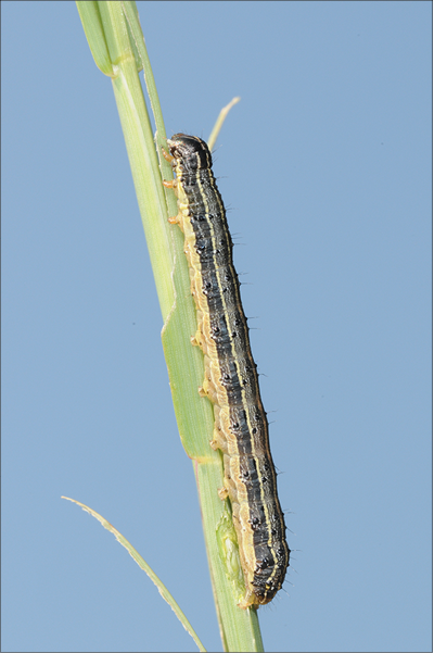 An image of a caterpillar on a blade of grass.