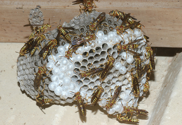 A paper wasp nest with a few dozen workers and capped and uncapped brood cells.