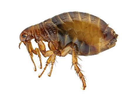 Close-up of a single adult flea.