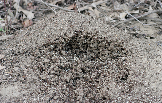 Fire ant mound cut open to expose agitated workers and brood.