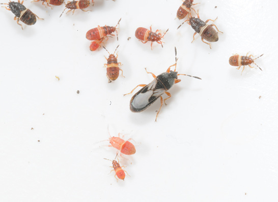 A single adult chinch bug surrounded by several pink nymphs on a white background.