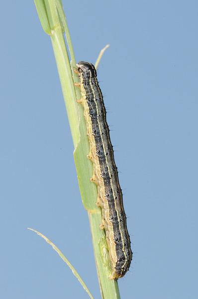A single, longitudinally striped caterpillar resting on a grass stem.